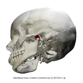 Mandibular fossa-mittel 1.1